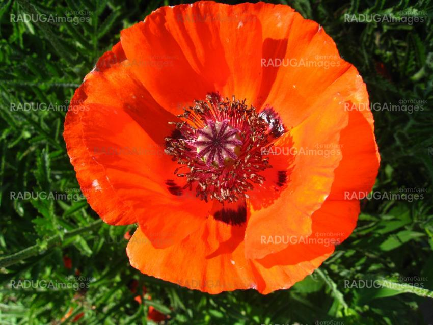The beautiful flower of a poppy