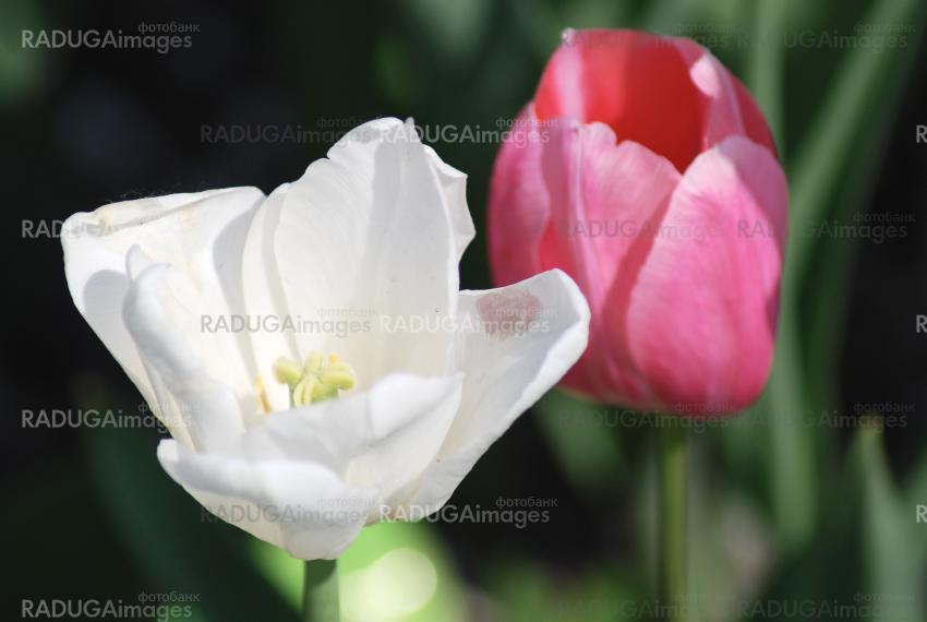 Two white and pink  tulips ,flowers background