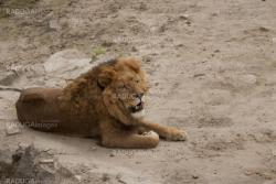 lion lies on the rocky ground