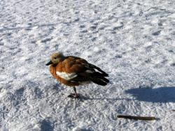 Duck on snow