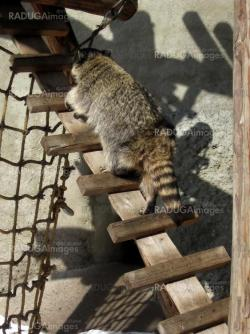 Raccoon on the ladder