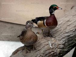 Two colorful ducks
