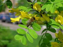 Bee on the acacia flower