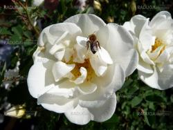 Bee on the white dogrose