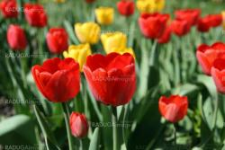 A field of beautiful and colorful tulips