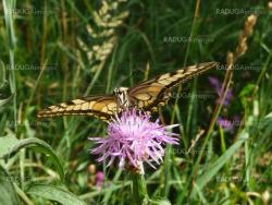 Large swallowtail butterfly on flower