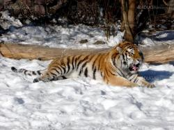 Tiger on snow