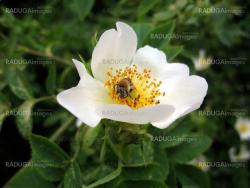 Bee on white briar flower