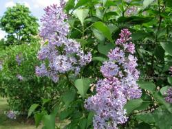 Blossoming lilac brush