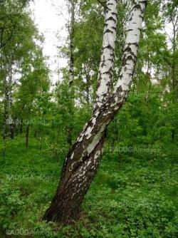 Curved birches
