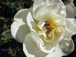 Bee in dogrose flower