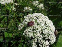Bug on white flowers