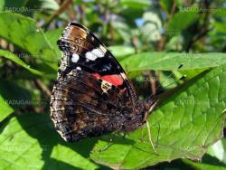 Admiral butterfly on the leaf