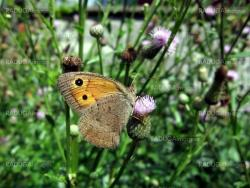 Butterfly with eyes on wings
