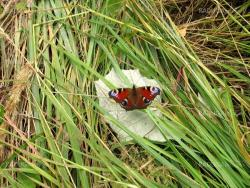 Peacock butterfly on grass