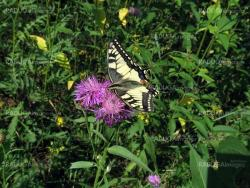 Swallowtail on the flower