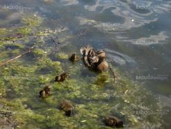 Duck with ducklings