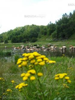 Small yellow camomiles on a background of river