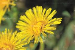 coltsfoot bloom  on green background  - Tussilago farfara in macro