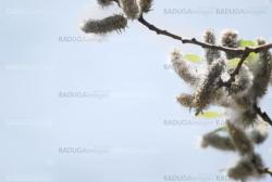 poplar down on water background at the summer, cottonwood fluff