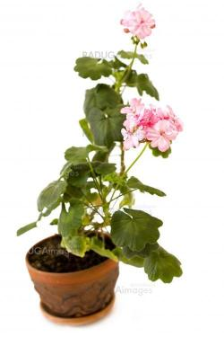 pink pelargonium flower in the pot isolated on white
