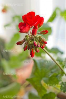 red flowers of blossoming pelargonia on green leaves bokeh backg