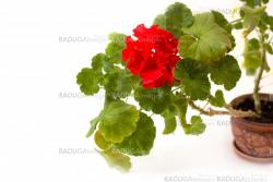 red pelargonium flower in the pot isolated on white