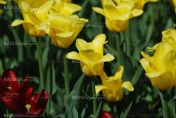 flowers background from tulips