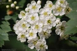 apple blossom close-up - white flowers