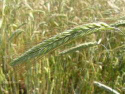 spikelets of the wheat