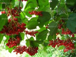 Clusters of a red ripe guelder-rose
