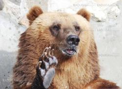 The brown bear welcomes with a paw