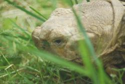Big Galapagos turtle head, Giant tortoise close up