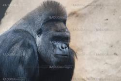 close-up of a big black hairy gorilla