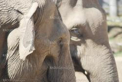 couple of asian elephants in love close up, animal family pair