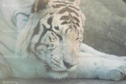 rare white tiger  lying on a rock  in zoo