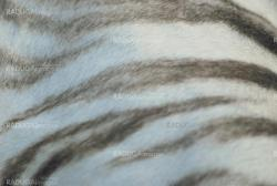 white tiger skin close up, natural texture