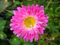 The flower of red beautiful aster
