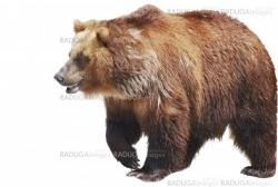 The brown bear close up isolated on white, wild life