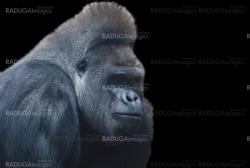 close up of a big black hairy gorilla isolated on black