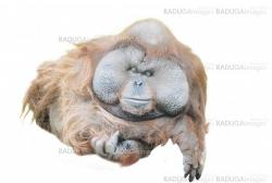 close up of a huge male orangutan isolated on white