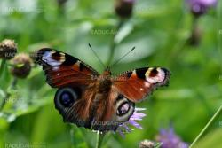 The butterfly peacock