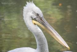 close up of  white pelican, pelecanus occidentalis