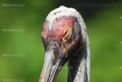 close up of  the head and eye of  a sandhill crane