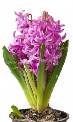 Pink Hyacinth on a white background
