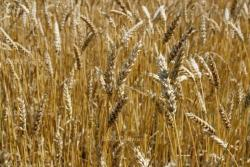 Riped wheat background