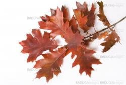Close up Oak branch on white background