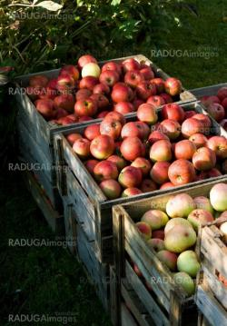 Red apple in the wood box. Autumn harwest