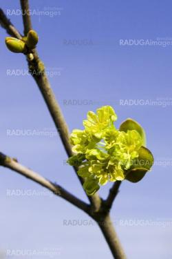 Maple in the spring