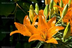 Close-up orange lilly in grass